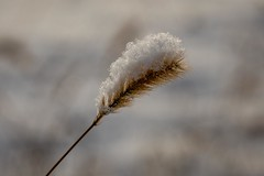 grass snow (1 of 1) (DavidGuscottPhotography) Tags: winter brown snow grass