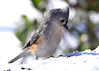 Young titmouse perplexed as to cold white stuff. (Dale Wiley) Tags: tuftedtitmouse