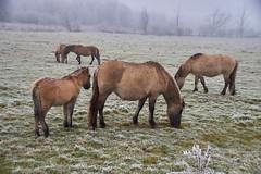 30-12-2016 - Oostvaardersplassen - DSC09362 (schonenburg2) Tags: oostvaardersplassen konikpaarden winter