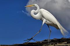 Puttin' On the Ritz (Darts5) Tags: greategret egret egrets ef100400mmlll whitebird whiteheron whiteegret bird birds largewhitebird 7d2 7dmarkll 7dmarkii 7d2canon ef100400mm closeup canon7d2 canon7dmarkll canon7dmarkii canon