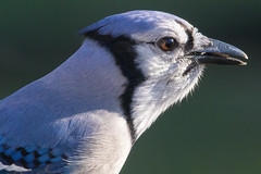 Blue Jay 12-25-2016-36 (Scott Alan McClurg) Tags: ccristata corvidae cyanocitta flickr back backyard bird blue bluejay deck eat feed flickrbirds jay life nature naturephotography neighborhood perch perching portrait rail railing seed smallbirds song songbird suburbs wild wildlife winter yard