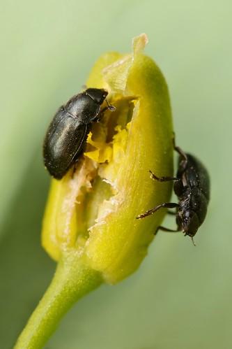 Rapeseed pollen beetles