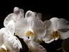 Orchid on black (Darek Drapala) Tags: orchid flower flowers bw blackwhite blackandwhite nature panasonic panasonicg5 lumix light white