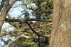 european squirrel (Fabio.Buoso) Tags: sciurusvulgare scoiattoloeuropeo europeansquirrel valletagli caorle venezia italia