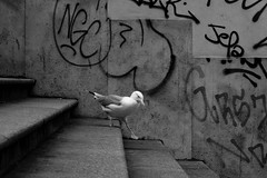 giù per le scale (luporosso) Tags: natura nature naturaleza naturalmente nikond300s nikon birds bianconero biancoenero blancoynegro blackandwhite blackwhite bn bw bnw monocromatico monochrome monocrome gabbiano seagull