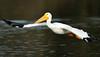 LakeChabot_123116_219 (kwongphotography) Tags: lakechabot castrovalley birds calif americanwhitepelican pelican wildlifephotography nature naturephotography wildlife birdsinflight unitedstates