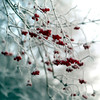 """Frosted Rowan"" (helmet13) Tags: d800e raw winter sorbusaucuparia rowan frost berries selectivefocus bokeh flora nature aoi heartaward peaceaward 100faves world100f platinumpeaceaward"