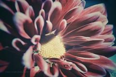 Fuji x-t10 (Jasrmcf) Tags: fuji fujinon fujifilm fujix10fuji fujixt10 fujimacro fujica fujixseries macro macrotube smooth blur bokeh bokehgraph bokehlicious dof detail depthoffield petals pentacon 30mm vintage vintageglass beautiful garden nature ngc
