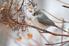 Tufted titmouse in snowstorm (cheryl.rose83) Tags: bird tuftedtitmouse snowflakes snow snowstorm