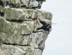 Landing gear down... (Yin*Yang) Tags: outdoor cormoran bird cape point south africa town animal nature cliff