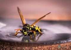 Wespe (ramonaschmitt) Tags: wasp gelb schwarz farbe nikon d3300 tamron 90mm makro macro wespe spiegelung schärfentiefe dof dept field natur nahaufnahme