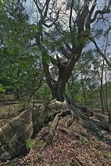 nel bosco, in the wood (paolo.gislimberti) Tags: india karnataka wood bosco alberi trees sottobosco undergrowth foglie leaves radici shallowroots