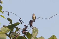 Picaflores Sencillo (ik_kil) Tags: picafloressencillo nilgiriflowerpecker dicaeumconcolor endémicodeindia endemic´sindia tambdisurla goa birdsofindia birds flowerpecker india