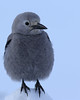 cute (fred.colbourne) Tags: clarksnutcracker bird animal wildlife banffnationalpark alberta canada snow