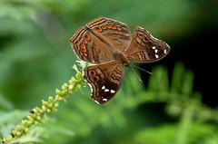 Junonia natalica (zimbart) Tags: africa zimbabwe zambezinationalpark fauna arthropoda insects lepidoptera rhopalocera butterflies nymphalidae nymphalinae junonia junonianatalica