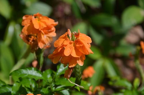 DSC_6482 Crossandra infundibuliformis (firecracker flower), Flecker Botanic Garden, Cairns, Queensland