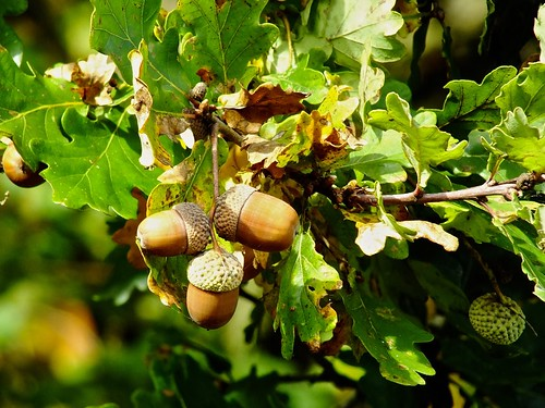 oaks bounty