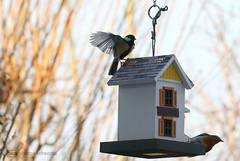 birdies (photos4dreams) Tags: birdies12017p4d birdhouseofmyownp4d vogelhaus vogel bird birdy meise birdhome herbst autumn photos4dreams p4d photos4dreamz rotkehlchen robin mysecretgarden