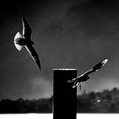 Bellagio, Lago di Como, Italia (pom.angers) Tags: canoneos400ddigital february 2009 bellagio lagodicomo como lombardia italia italy europeanunion gabbiani gabbiano seagull gull bird birds 100 200 300 5000