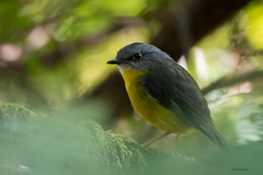 Eastern Yellow Robin (Eopsaltria australis) (Derek Midgley) Tags: dsc2770 eopsaltriaaustralis easternyellowrobin ridge track sherbrooke dandenong ranges