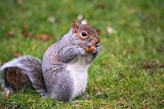 Yummylicious (fotojak1) Tags: squirrel rodent animal cute bushytail royalbotanicgardenedinburgh rbge outdoor outside scotland grey gray greysquirrel graysquirrel handheld nikond7100 sigma70300mm johnritchie