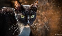 2016 - Mexico - Zihuatanejo - Whiskers (Ted's photos - Returns Late November) Tags: 2016 cropped mexico nikon nikond750 nikonfx tedmcgrath tedsphotosmexico vignetting zihuatanejo cat eyes whiskers face bokeh ears zihuatanejoguerrero