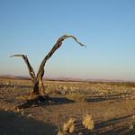 Vertrockneter Baum am Sossusvlei
