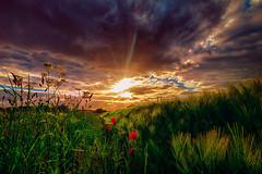 Am Straßengraben (radonracer) Tags: sonnenuntergang feld blumen poppy sonne gegenlicht mohn niederrhein mohnblume wolkendecke strasenrand boeckelt