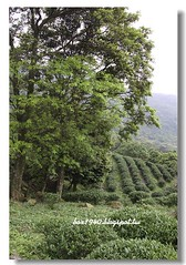 IMG_0355 (盒子(Box)) Tags: 三峽 茶園 槭樹 蛇莓 菫菜 薊 森林步道 鳥不踏 扛板歸 熊空農場 台灣農林 熊空休閒農場 熊空茶園 海拔七百公尺