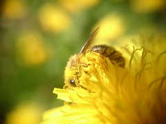Bee collects pollen (ledagnim) Tags: photooftheday naturelover beemacro macrobee naturepic macrolove beeondandelion macrolife macrooftheday beecollectspollen