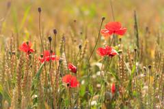 Sommerzeit (Fotos4RR) Tags: summer sommer poppy mohn klatschmohn getreidefeld