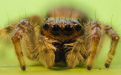 Araa Saltadora (Nicophotographylife) Tags: macro insect spider fly jumping eyes legs ojos patas araa mosca insecto microphotography saltarina
