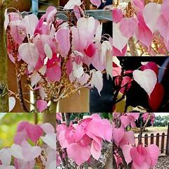 สวยแปลก!! ต้นโพธิ์สีชมพูอายุ6ปี วัดใหม่คลองปี อ.สอยดาว จันทบุรี ต้องกั้นรั้วปิดกันคนขโมย #ชาวบ้านแห่ดู !!! ต้นโพธิ์สีชมพู นับใบก่อนวันหวยออก ถูกมาแล้ว 2 งวดติด #งวดนี้คือ!? #SpringNews http://t.co/X9GXqXSvEy #cr.kob_SpringNews