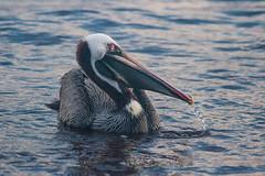 Brown Pelican (Heather Valey) Tags: bird rabida brownpelican equador galapagosislands canonrebelxti