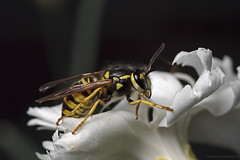 Common Wasp, Gemeine Wespe ( Vespula vulgaris) (scubaluna) Tags: summer white macro nature animal fauna season insect outdoors schweiz europa wasp natur august flashlight nah blume blte biology insekt nahaufnahme zoology wespe gelbschwarz commonwasp olympusesystem kleintier scubalunaphotography wildlifeanimalsinthewild