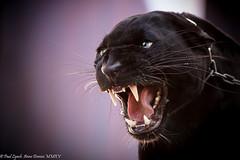Black Panther (Paul C Lynch) Tags: leopard blackpanther coloradorenaissancefestival greatcatsworldpark