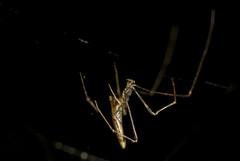 Aranha Rhomphaea sp  (Theridiidae, Argyrodinae) b (Enio Branco) Tags: nature rainforest wildlife natureza bugs macrophotography mataatlntica macromundo artropods sosmataatlntica macromaniaanimalgroup