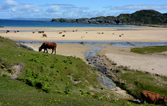 Colonsay Cattle at Kiloran Bay  - Scotland (skullwull) Tags: beach cattle cows colonsay kiloranbay wintonmassifrootstour2015