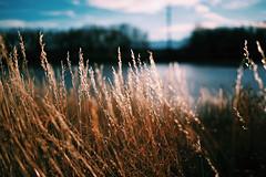 99/365 (fotovivo / peevish me) Tags: 365 postaphotoaday fotovivo grasses goldenhour dof colorado lateautumn