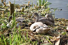 Cygnets at Sprotbrough Flash (petershaw4) Tags: cygnets sprotbrough flash doncaster southyorkshire