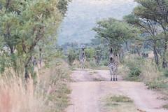DSC_5488 (mylesm00re) Tags: africa burchellszebra equusquaggaburchellii limpopo welgevondengamereserve za sebra southafrica