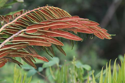 Giant Leather Fern (Acrostichum danaeifolium)