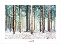 wintertime III (Zino2009 (bob van den berg)) Tags: snow littlebit thin winter wintertime holland first 2017 pines lines up standing forest depth color netherlands zino2009 green needles leaves