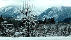 First Real Snow 12/8/16 (Pictoscribe) Tags: pictoscribe leaveworth dec 8 2016 winter snow orchard