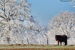 GRAVIERE AUX OISEAUX HFF (BPBP42) Tags: fence nature poney givre frost frosted landscape landschaft paysage