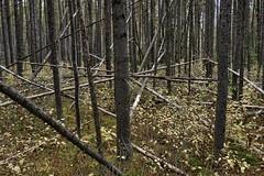 Higgledy-piggledy (virgil martin) Tags: trees forest peterlougheedprovincialpark alberta canada panasoniclumixfz1000 oloneo gimp