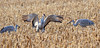 Sandhill Cranes (kconnelly03) Tags: sandhillcrane nj newjersey