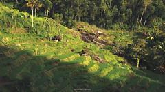 Terasiring (hauptmann photo) Tags: rice ricefield travel traveling tourism tropical touring vacation village nature landscape beauty beautiful indonesia indonesiamemotret ijo cinematic terasiring terasering sawah