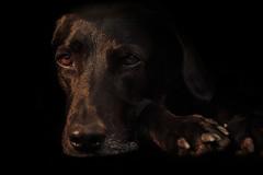 Piwo im Studio (Andie Wandsch) Tags: piwo hund animal dog studio labrador haustier portrait hss sliderssunday