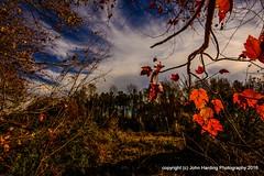 Cat Tails (T i s d a l e) Tags: tisdale cattails farm wetlands autumn fall november 2016 easternnc